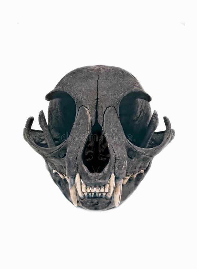 Оскал черепа кота изолированный на белой предпосылке стоковое изображение