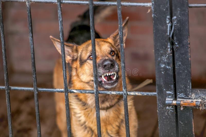 Оскал немецкой овчарки - воинская собака стоковые изображения rf