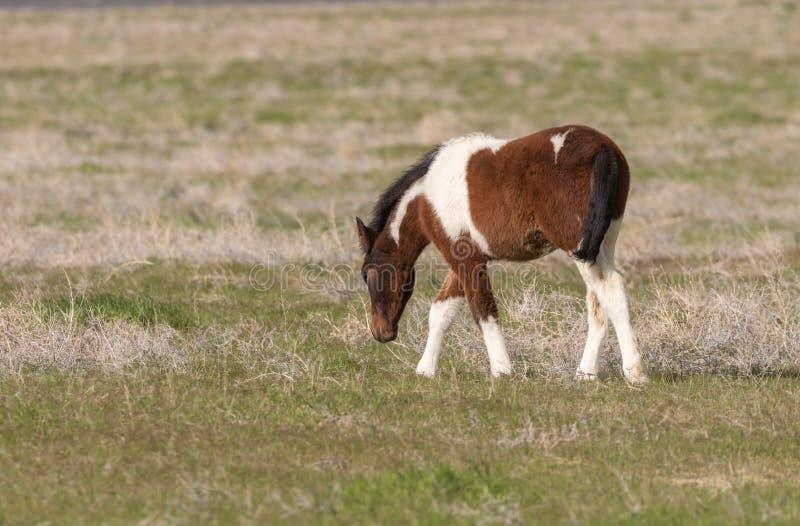 Осленок дикой лошади в Юте стоковые изображения rf