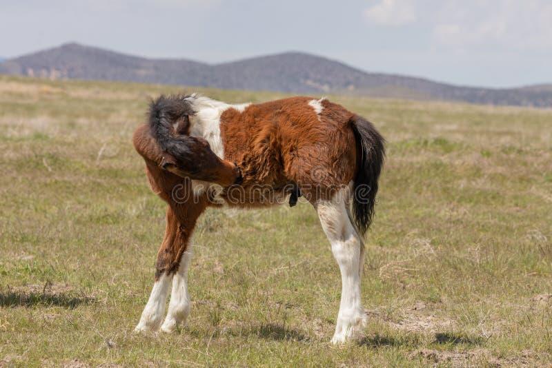 Осленок дикой лошади стоковое фото rf