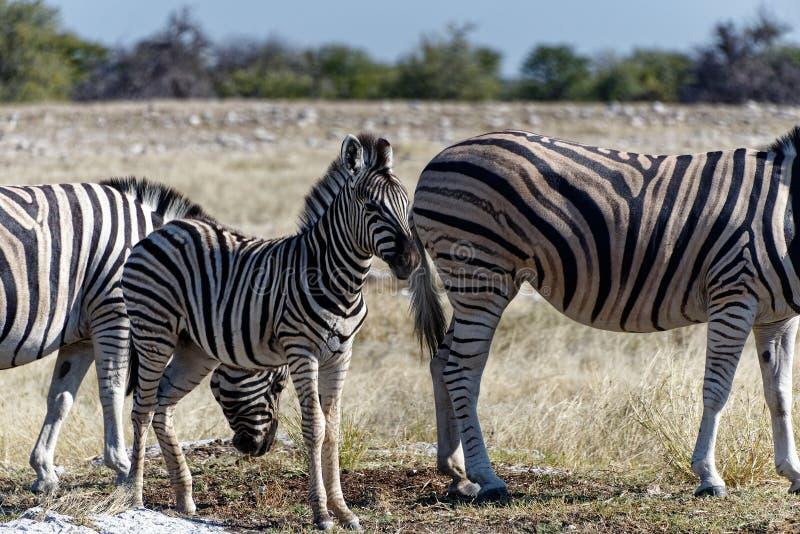 Осленок зебры стоит между 2 взрослыми на африканских равнинах стоковое фото
