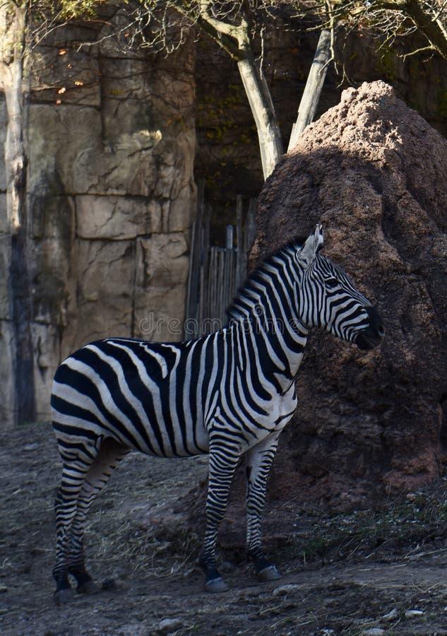 Осленок зебры Grevy's стоковые изображения