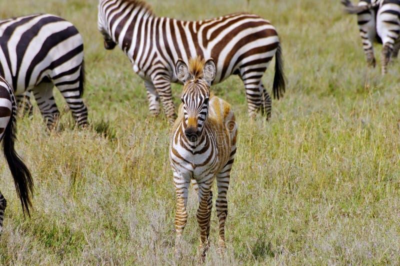 осленок упрощает зебру Танзании serengeti стоковые изображения rf