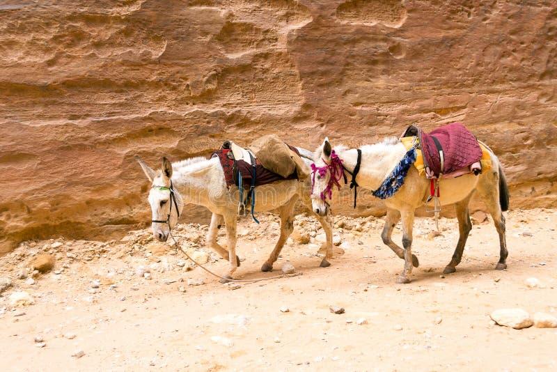 Ослы в пустыне - месте всемирного наследия Petra, Джордане стоковые изображения