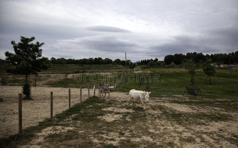 Ослы на ферме стоковые фотографии rf