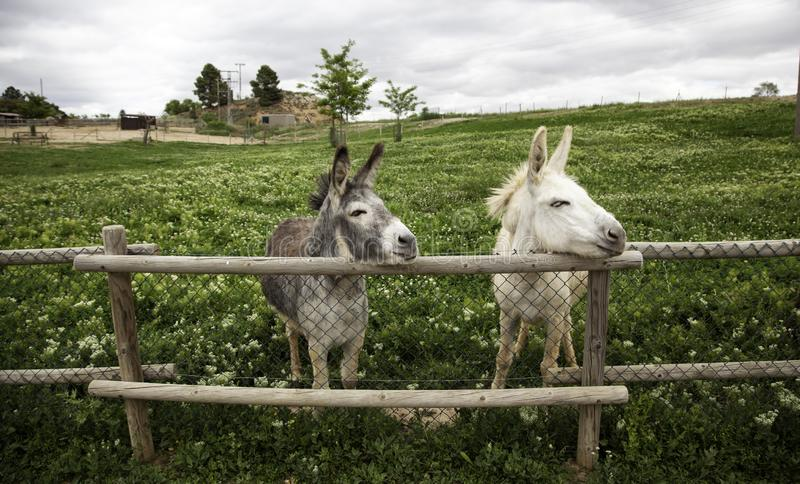 Ослы на ферме стоковая фотография
