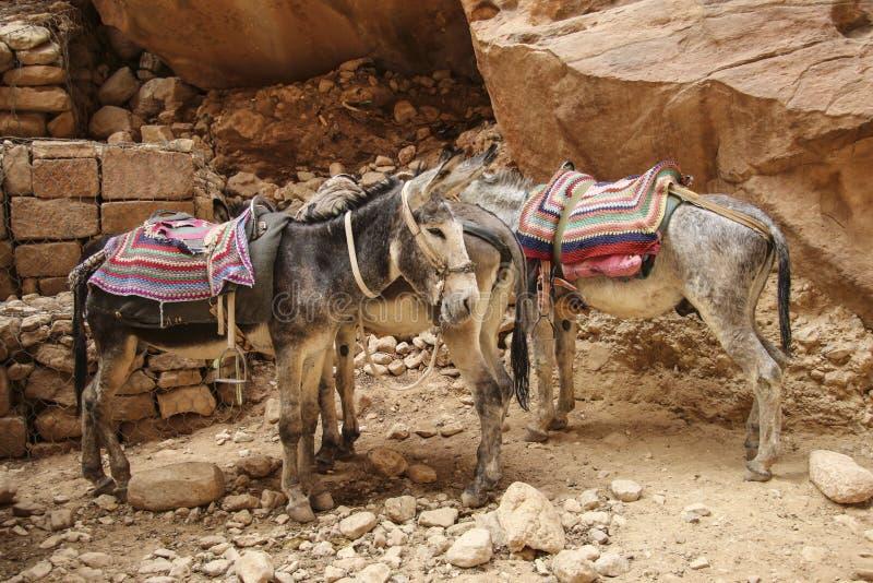 Ослы с красочной традиционной проводкой в Petra, Джорданом использовали стоковые фото