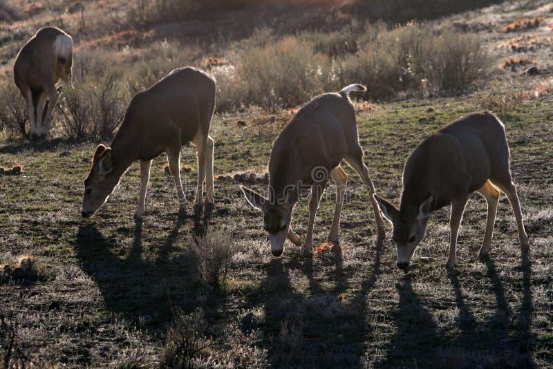 осляк оленей стоковые фото