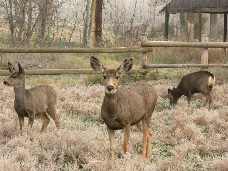 осляк семьи оленей Стоковые Фотографии RF