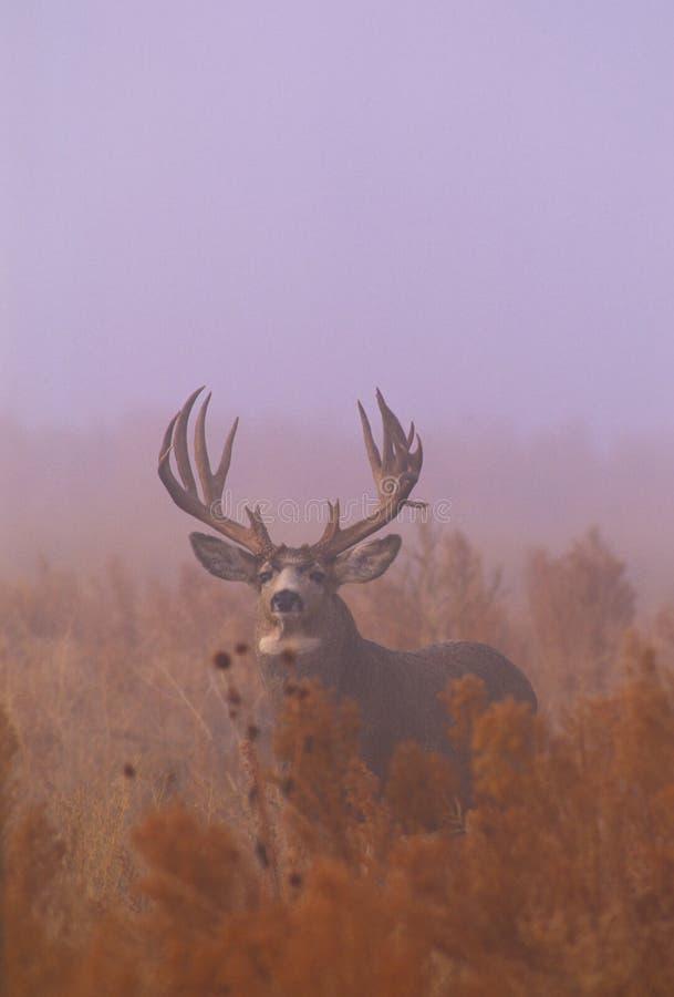 осляк тумана оленей самеца оленя