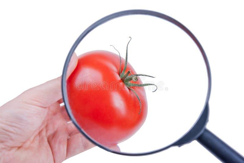 Осмотр томата стоковая фотография rf