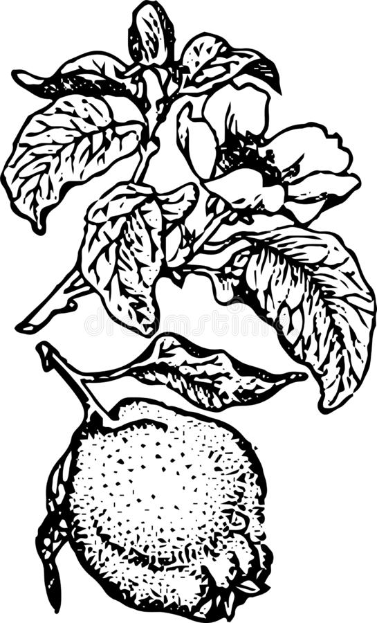 Beautiful and juicy quince fruit royalty free illustration