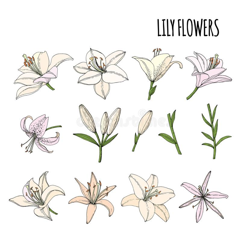 Set Lily flower, bud and leaf. royalty free illustration