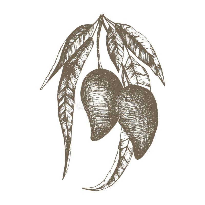 Stock vector hand drawn botanical illustration with a Thai mango fruit. vector illustration