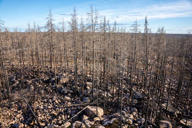 Остальные мертвые деревья после лесного пожара стоковое изображение rf