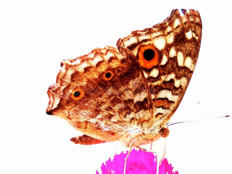 остальные ночи сумеречницы бабочки стоковые фото