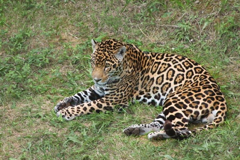 остальные ягуара стоковое изображение