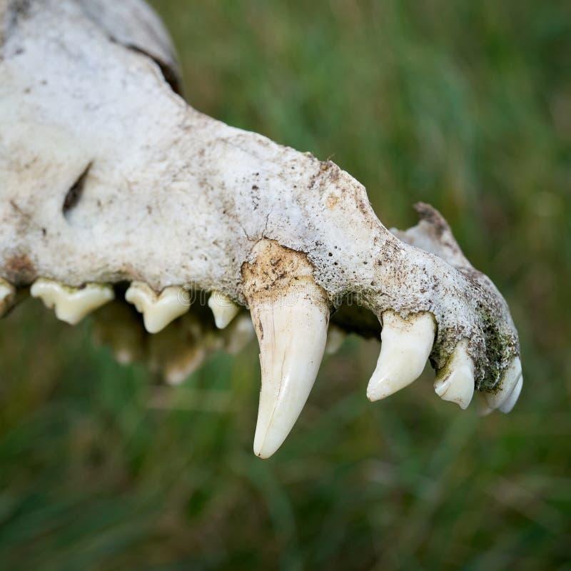 Останки черепа волка на реке Эльбе около Магдебурга стоковые изображения