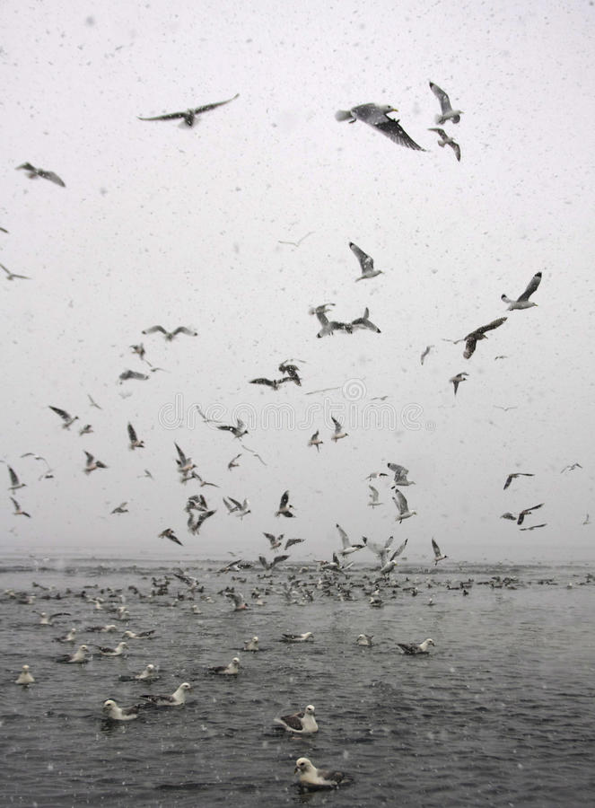 Остервенение морских птиц в снежке стоковое изображение rf