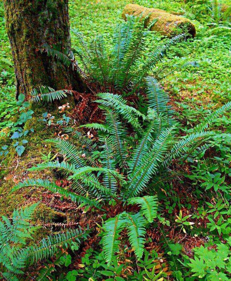 Остервенение папоротника леса стоковые изображения rf