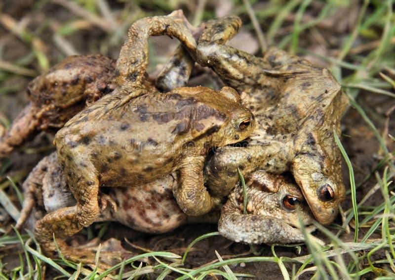 Остервенение лягушки стоковые изображения