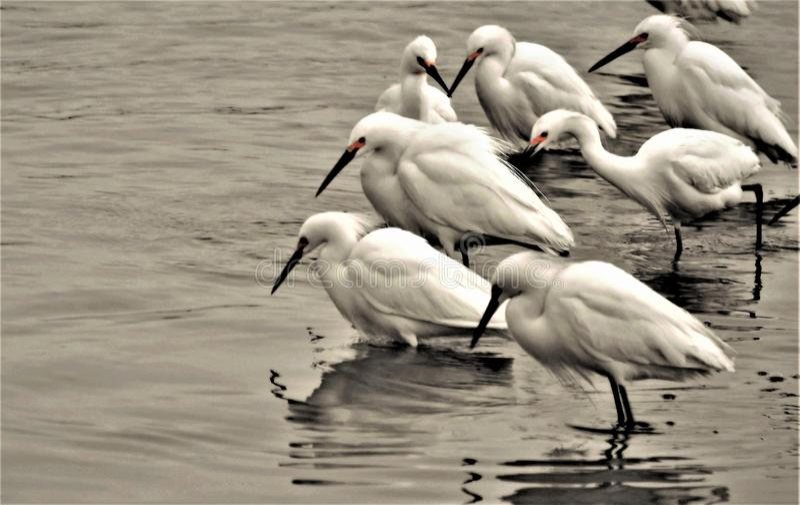 Остервенение Egret питаясь стоковое фото