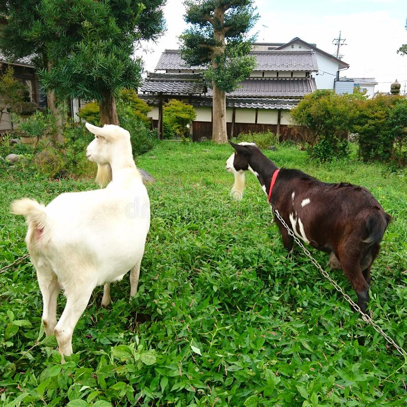 осторожная коза стоковая фотография rf