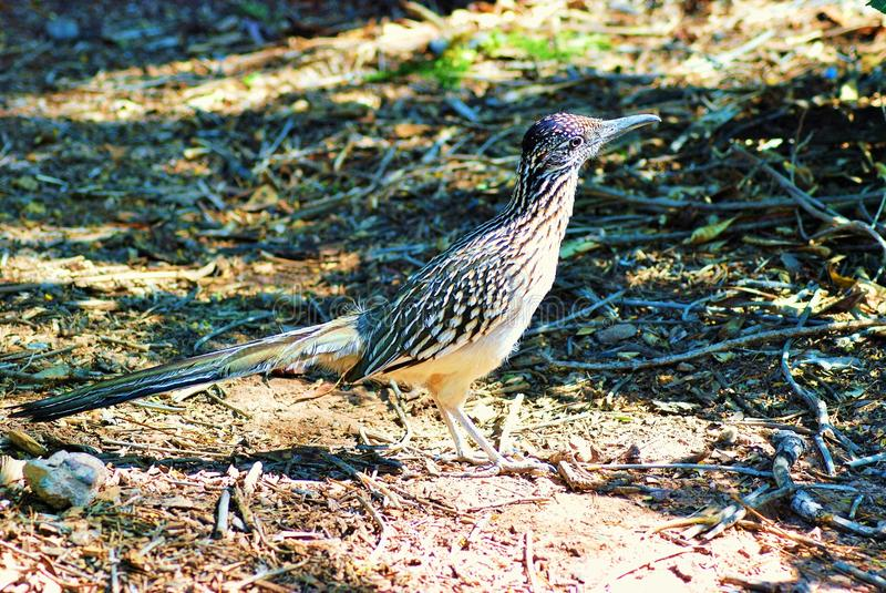 Осторожная птица Roadrunner Аризоны проверяет телезрителя стоковое фото rf