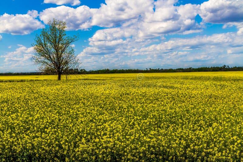 Острая широкоформатная съемка красивого яркого желтого цветя поля канола заводов с облаками и голубым небом. стоковое изображение rf