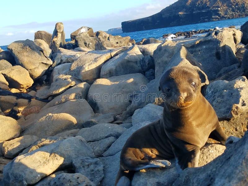 Острова Галапагос морсого льва стоковая фотография rf