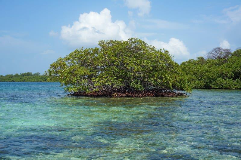 Островок дерева мангровы в карибском море стоковая фотография rf