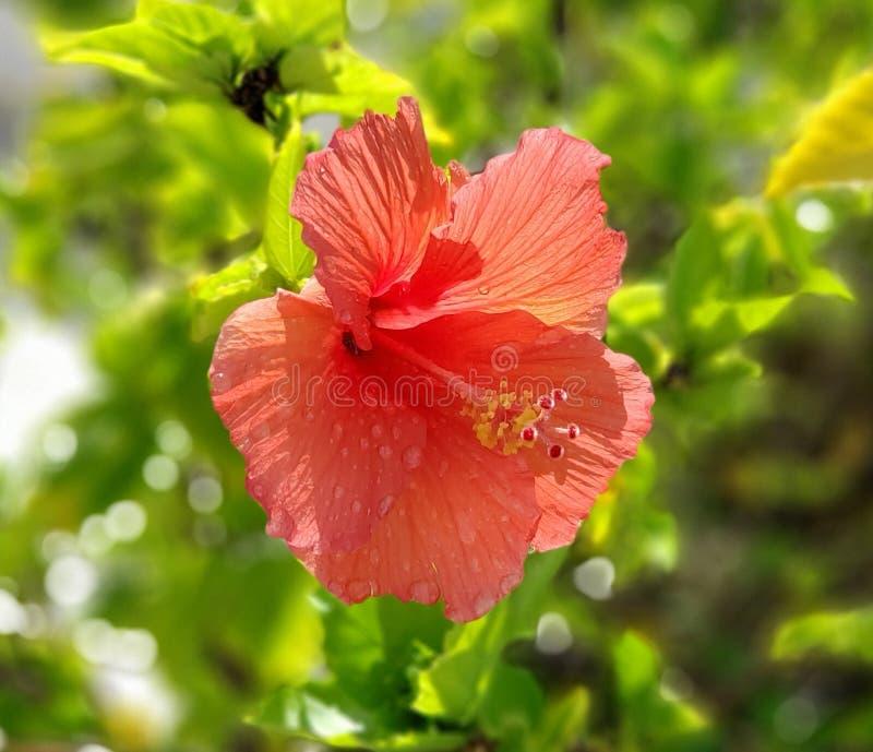 Остров Багамские острова гавани гибискуса стоковые изображения rf