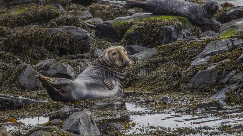 Остров Северная Ирландия Rathlin стоковое фото