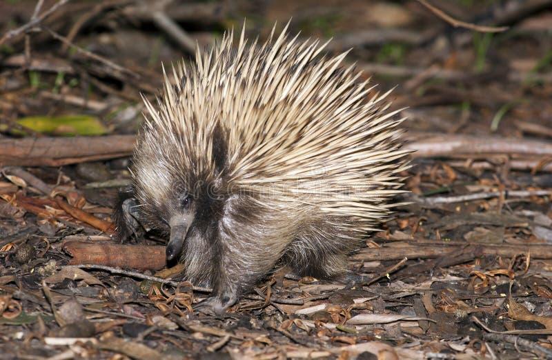 Остров южная Австралия кенгуру стоковые изображения rf