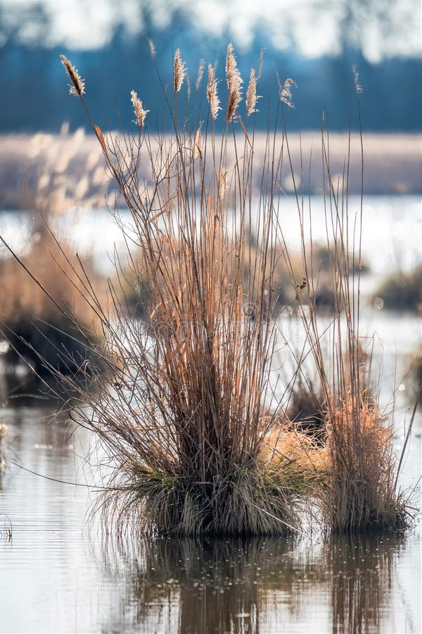 Остров Reed с сухой травой и отражения в воде стоковая фотография