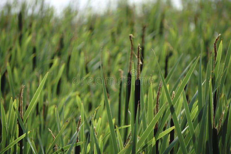 Острые тростники озером стоковые изображения rf