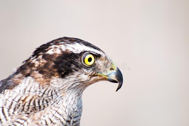 Острый глаз орла стоковое изображение rf