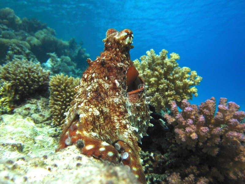 Осьминог в Красном Море стоковые фото