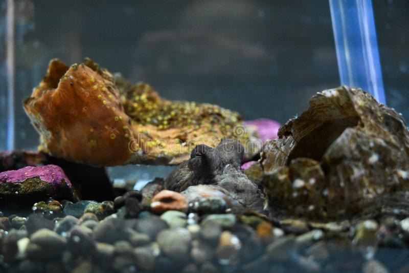 Осьминог младенца спать в скалистом аквариуме стоковое изображение rf