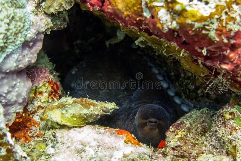 Осьминог пряча в коралловом рифе - Борнео, Малайзии стоковые фотографии rf