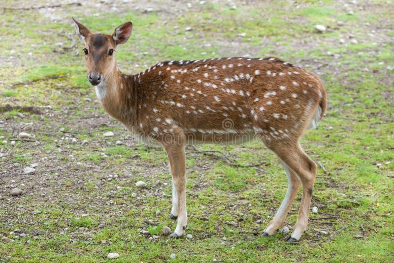 Download Ось оси Chital, также известная как запятнанные олени Стоковое Фото - изображение насчитывающей даже, тропик: 81810302
