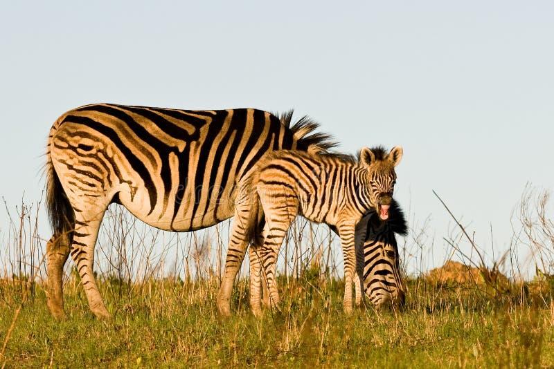 Осленок и мать зебры стоковые фотографии rf