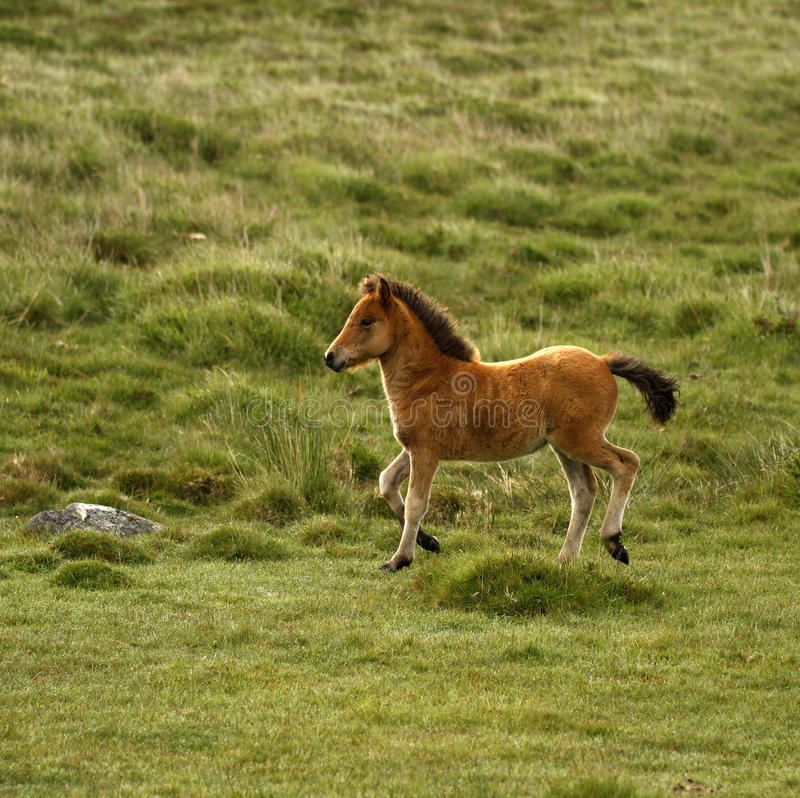 Осленок пони Dartmoor залива стоковые изображения rf