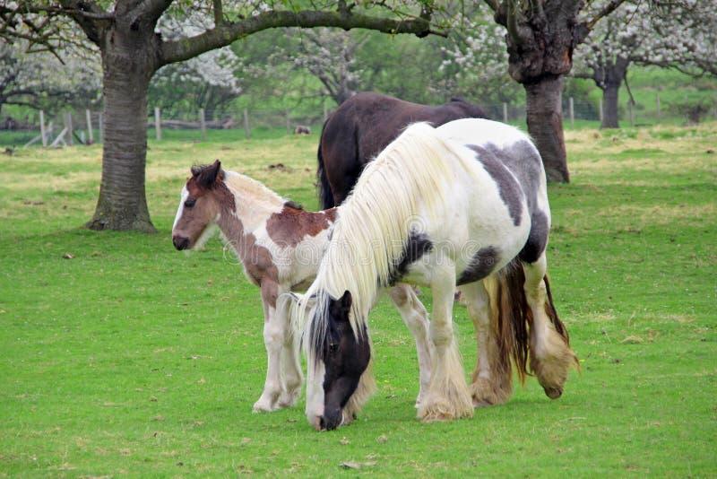 Осленок с родительскими лошадями стоковая фотография rf