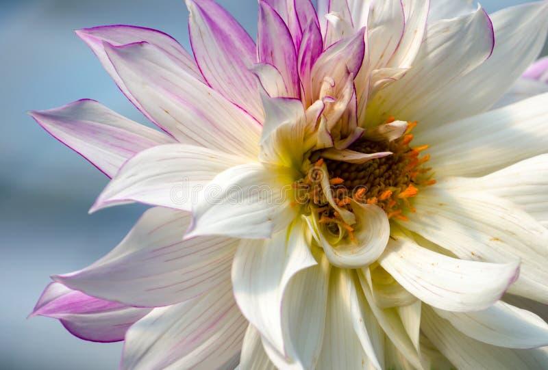 Ослеплять цветок георгина стоковое фото rf