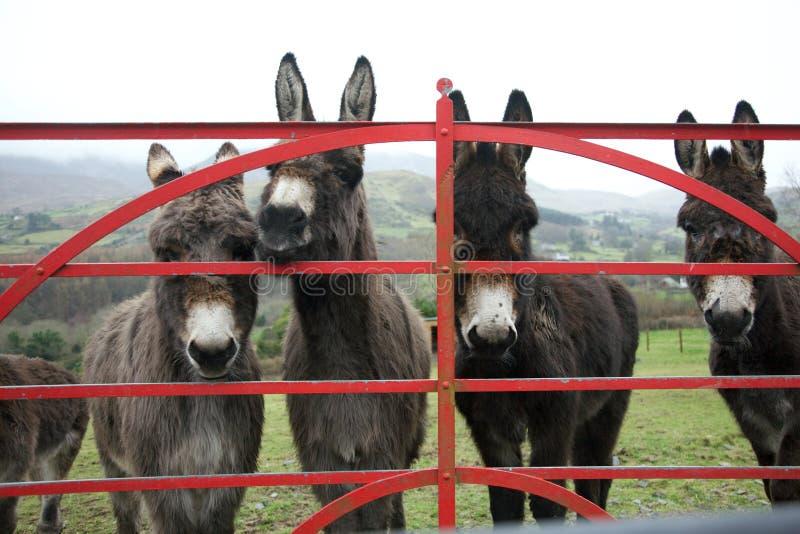 Ослы на стробе в Ирландии стоковые фотографии rf