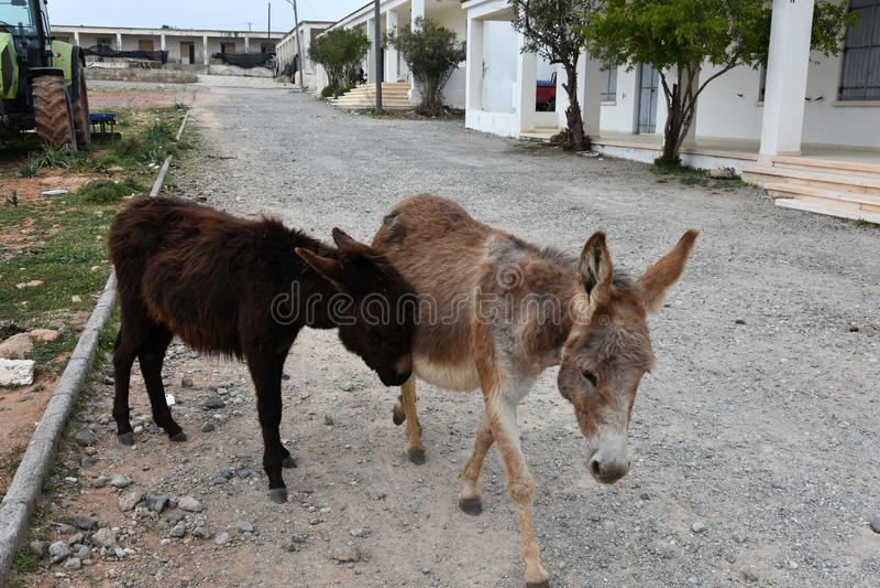 ослы одичалые стоковая фотография rf
