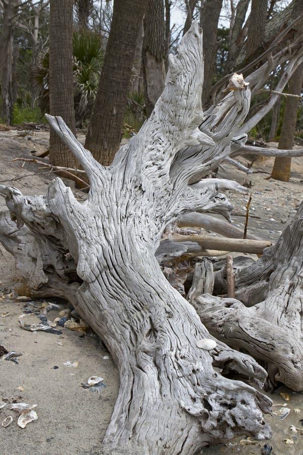 Отбеленный пень дуба в реальном маштабе времени на Boneyard на SC плантации залива ботаники стоковые изображения rf