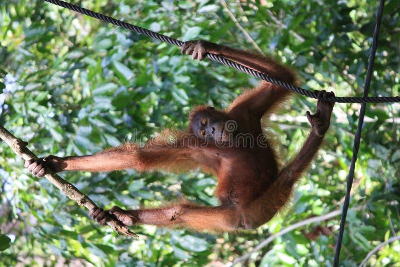 Отбрасывая орангутан стоковые изображения rf