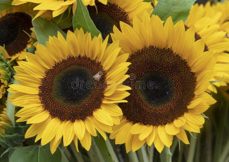 Отбуксируйте цветеня гигантского солнцецвета для продажи в открытом рынке Pike, Сиэтл, Вашингтоне стоковые фотографии rf